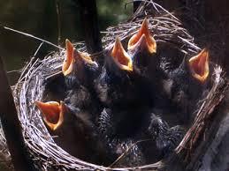 Bildresultat för fågelungar