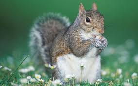 Image result for squirrel