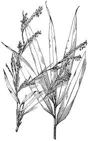 Arundinaria Japonica | ClipArt ETC
