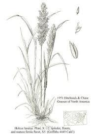 Holcus lanatus - Online Virtual Flora of Wisconsin