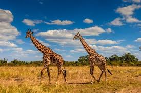 20 giraffe facts that will blow your mind   Giraffe pictures - Discover ...