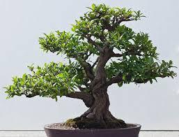 japanese bonsai dwarf pomegranate seeds flowering fruit tree office decor bonsai tree for office