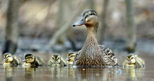 Mallard Identification, All About Birds, Cornell Lab of Ornithology