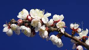 Image result for tree bloom branches