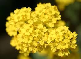 Aurinia saxatilis - Wikipedia