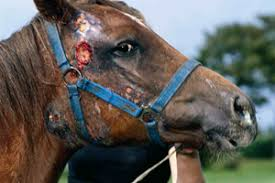 Image result for HORSE DISEASE