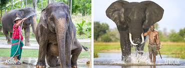 Image result for african elephant vs asian elephant