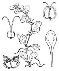 Callitriche stagnalis Scop. - Guida alla flora degli stagni temporanei ...