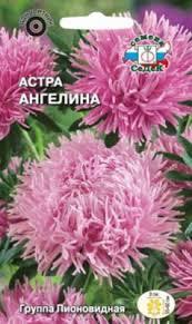 <b>Астра Ангелина</b> купить в Самаре по цене 12 руб.