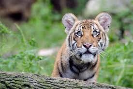 tigers org 1usro6wsxs julie larsen maher 2089 malayan tiger cub tm bz 09 17 10 hr