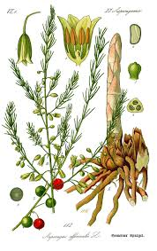 Asparagus officinalis - Wikipedia