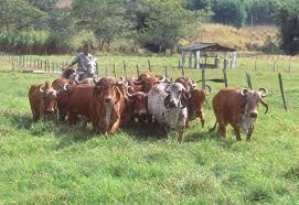 Gyr cattle