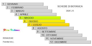 Potentilla hirta [Cinquefoglia irsuta] - Flora Italiana