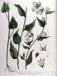 Archivi:Campanula trachelium — Flora Batava — Volume v10.jpg ...