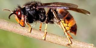 Rezultat slika za zAŠTITI PČELE OD stršljenova