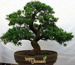 1000 images about plants trees on pinterest bonsai trees bonsai and juniper bonsai bonsai tree office window