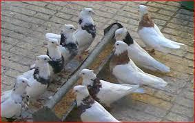 Image result for تصاویر کبوتر با کبوتر
