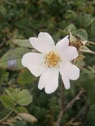 Rosa tomentosa - Wikipedia, la enciclopedia libre