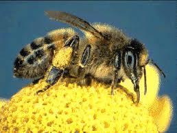 Resultado de imagen de abeja