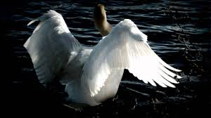 <b>Tchaikovsky</b> - <b>Swan</b> Lake (Swan Theme) - YouTube