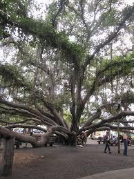 banyan tree laihaina maui hawaii i love sitting down and resting banyan tree laihaina maui hawaii i love sitting down and resting under this tree