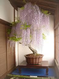 wisteria bonsai tree interior