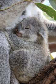 best images about cute n residents on 17 best images about cute n residents emu south and koalas