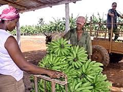 Comercialización agrícola sin los rendimientos esperados en Cuba