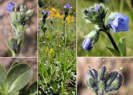 Veronica bellidioides L. - Sistema informativo sulla flora delle Alpi ...