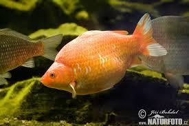 <b>Золотые рыбки</b> (Carassius auratus) | виды, описание, содержание