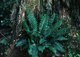 Image result for poly fern