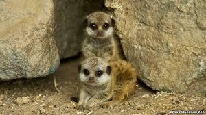 Image result for 2 meerkat pups