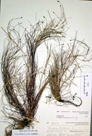 Isolepis lenticularis • New Zealand Plant Conservation Network