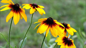 Image result for brown eyed susan