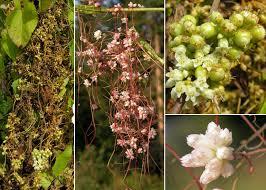 Cuscuta europaea L. - Sistema informativo sulla flora vascolare dei ...