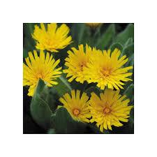 HIERACIUM VILLOSUM SEEDS (Silver Hawkweed) - Plant World ...