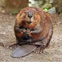 Images & Illustrations of beaver