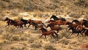 BLM Needs 1 Billion Dollars For Wild Horses