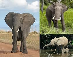 <b>Elephant</b> - Wikipedia