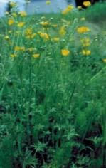 Tall buttercup identification and control: Ranunculus acris - King ...