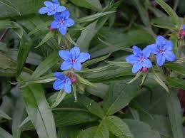 Buglossoides purpurocaerulea - Wikipedia, la enciclopedia libre