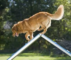 Image result for dog agility and sport training