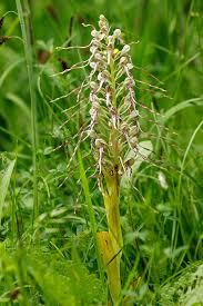 Himantoglossum hircinum - Wikipedia
