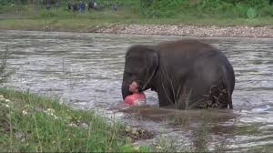 <b>Baby elephant</b> rescues man pretending to drown in Thailand - ABC7 ...