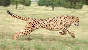 Resultado de imagen para cheetah