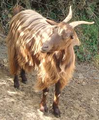 Messinese goat