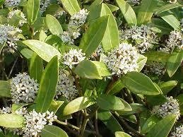 Rutaceae - Wikipedia