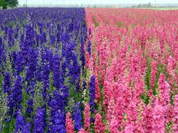 Image result for larkspur plant