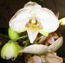 Клуб любителей орхидей: теоретические и практические статьи ...