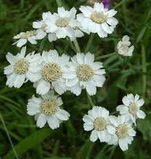 Achillea ptarmica - Online Virtual Flora of Wisconsin